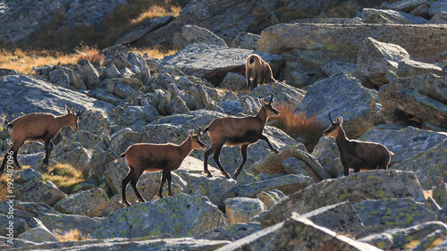 Foto Murales Camosci (Rupicapra rupicapra) in Valnontey, nel Parco Nazionale del Gran Paradiso