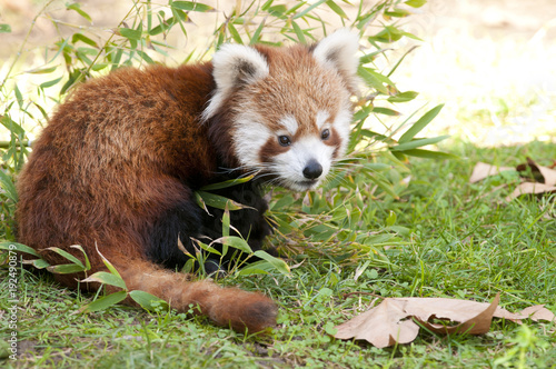 Plexiglas Panda Red Panda in autumn