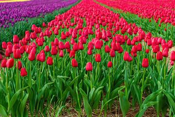 Millions of flowering tulips in a farm field.