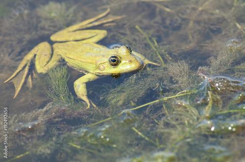 Aluminium Kikker Edible frog