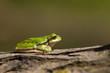 Tree Frog (Hyla arborea)