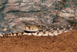 Pacific Gopher Snake - 192493216