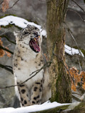 Snow leopard, Uncia uncia watches the surroundings - 192502238
