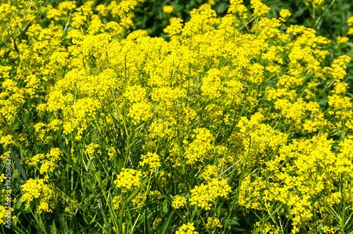 Keuken foto achterwand Geel Yellow colza field