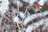 Pair of bullfinches.
