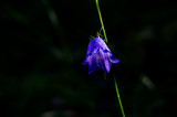 A lonely bellflower with a dark background - 192514286