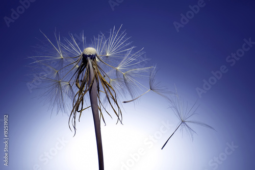Aluminium Paardenbloemen dandelion and its flying seeds
