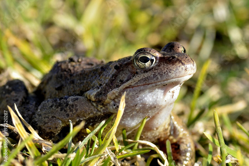 Aluminium Kikker Frog on green grass, close up.