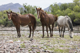 Wild Horses at the Lower Salt River near Mesa, Arizona USA - 192525042