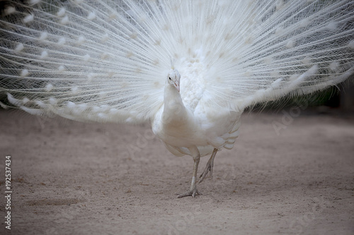 Aluminium Pauw white pheasant with beautiful fan tail standing on dirt field