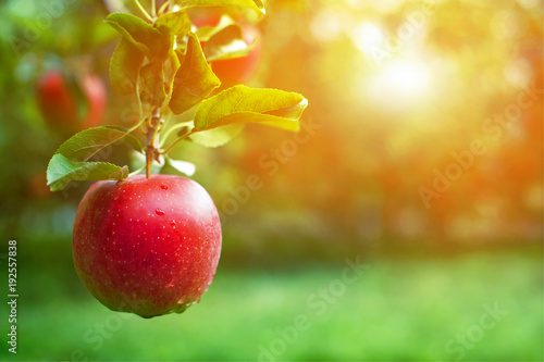 Foto Murales Ripe red apple close-up with sun rays and apple orchard in the background.