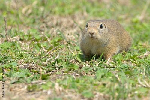 Foto Murales European Ground Squirrel or Souslik on Meadow