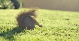 Curious squirrel looking around green lawn and running away quickly. 4K UHD. - 192570055