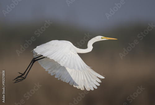 Aluminium Kikker The Great White Egret Flying