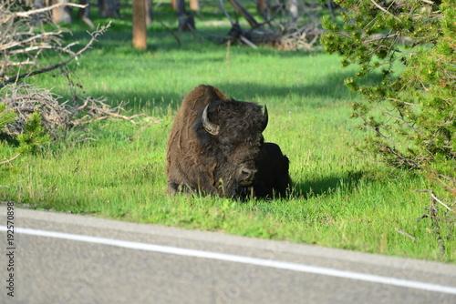Fotobehang Bison Trip to Yellowstone Nationalpark USA