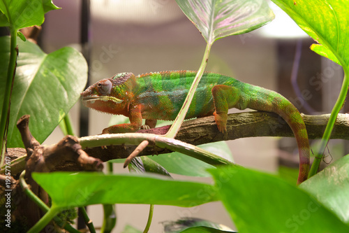 Fotobehang Kameleon хамелеон ползет по ветке в террариуме