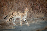 Serval and his spots