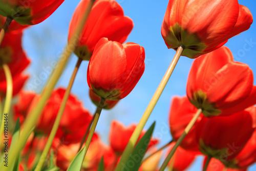 Fotobehang Rood Blühende Tulpen im Frühling