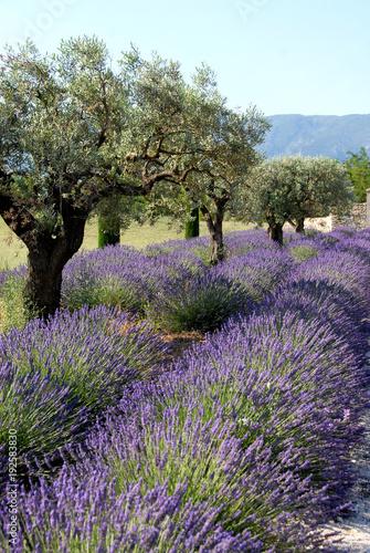 Aluminium Lavendel Provence, champs de lavande et oliviers, Luberon, Vaucluse, France