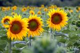 Vaucluse, champs de tournesols, Luberon, Provence