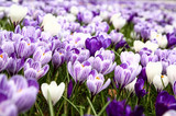 Close up of spring crocuses blooming in a park - 192587496