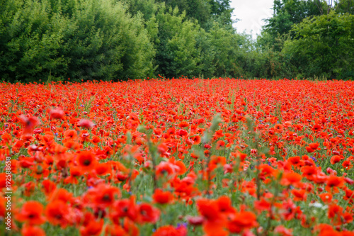 Fotobehang Rood Wunderful poppy field and green trees