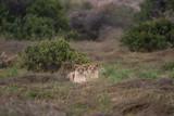Zwei junge Löwen im Gras liegend - 192589688
