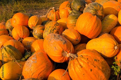 Fresh Harvested Pumpkins