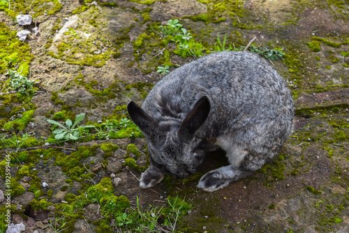 Foto Murales close up on grey rabbit on grassy field outdoor