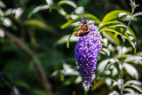 Schmetterling auf Flieder - 192607448
