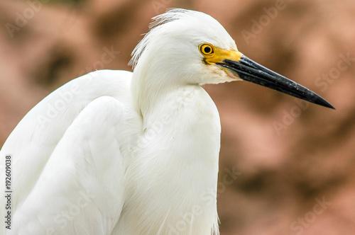 Snowy Egret Up Close