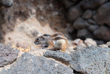 side view of barbary ground quirrel on stone wall - 192612888