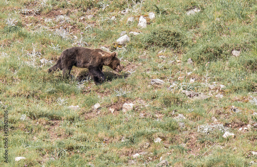 Fotobehang Bison brown bear in Asturian lands, descending the mountain in search of food