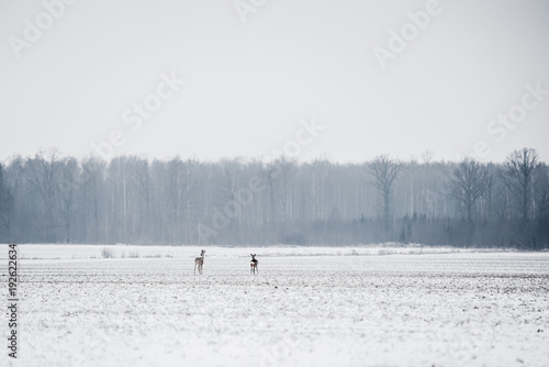 A lot of roe deers standing in the fields near forest in winter time Poster