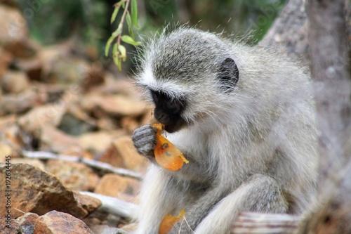 Foto Murales cercopiteco animale mammifero fauna safari africa