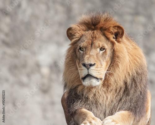 Portret Lwa samca w słońcu