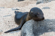 Quadro Sea lion baby rests his head on a rock