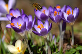 Purple springcrocuses and a Honey bee collecting pollen - 192639066