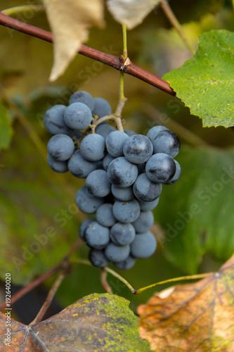 Keuken foto achterwand Wijngaard Red wine grape in a vineyard