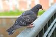 Quadro Dove closeup on the railing.