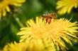 Bine mit gefüllten Pollentaschen schwebt über Löwenzahnblüte