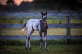 Appaloosa Filly - 192669487