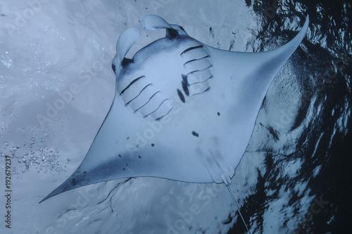Plexiglas Bali Manta Ray Gliding over Clear Waters of Bali