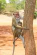 Quadro A Toque Macaque at Sigiriya Rock in Sri Lanka