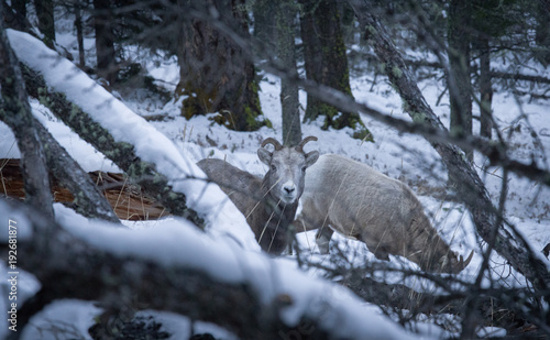 Fotobehang Canada wild mountain sheep in the Canadian Rockies