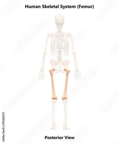 Human Skeleton System Femur Anatomy Posterior View Buy Photos