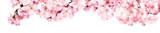 Rosa Kirschblüten Freisteller Panorama auf weißem Hintergrund - 192688430
