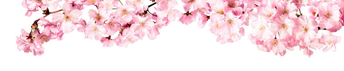 Rosa Kirschblüten Freisteller Panorama auf weißem Hintergrund © eyetronic