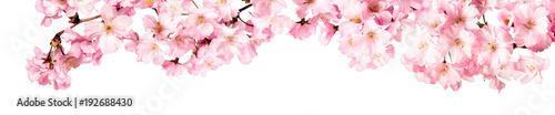 Leinwandbild Motiv Rosa Kirschblüten Freisteller Panorama auf weißem Hintergrund