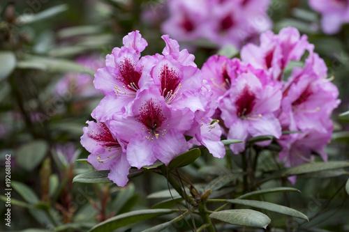 Rhododendron mit rosaroten Blüten im Garten im Frühling